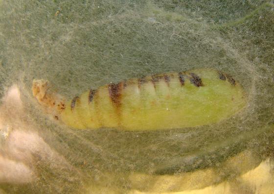 Noctuidae, pupa - Trichoplusia ni