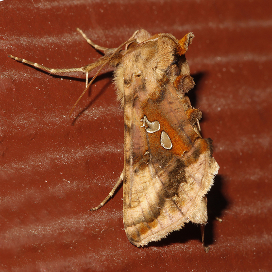 Two-spotted Looper - Autographa bimaculata