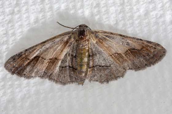 Geometrid moth adult - Stenoporpia macdunnoughi - female