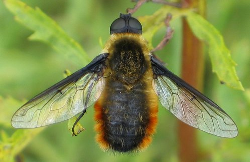 Tawny-tailed Bee Fly - Villa fulviana