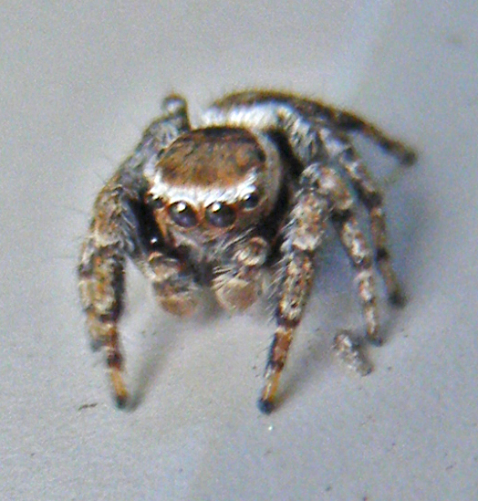 very small jumper - Evarcha