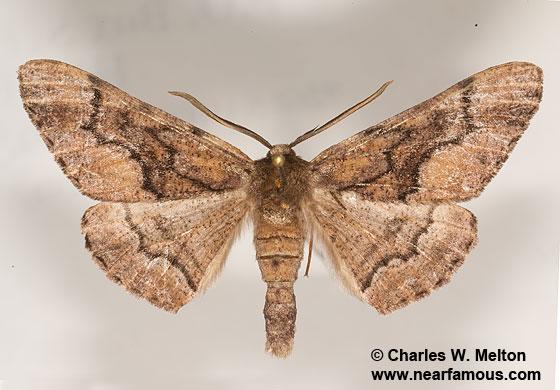 Phaeoura mexicanaria