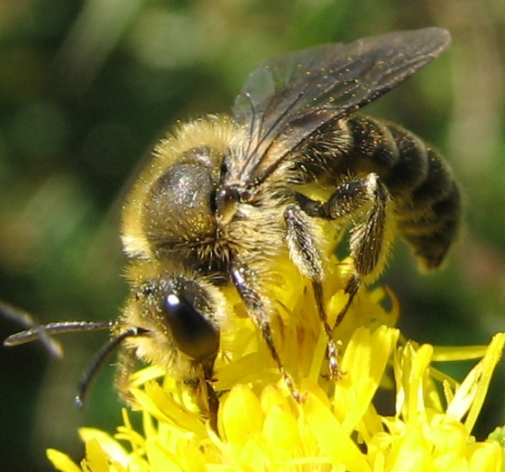 bee - Andrena - male
