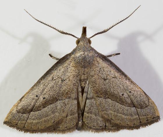 Moth - Macrochilo hypocritalis