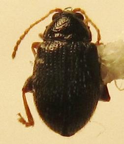 Epitrix cucumeris