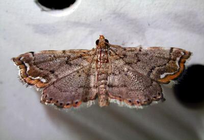Neomusotima conspurcatalis