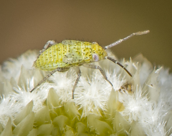 Hemiptera immature ID request - Pseudatomoscelis seriatus