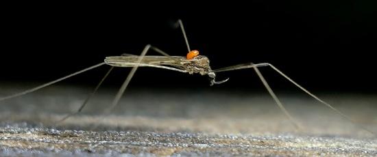 crane fly with mite - Limonia domestica