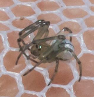 Small gray spider - Leucauge venusta