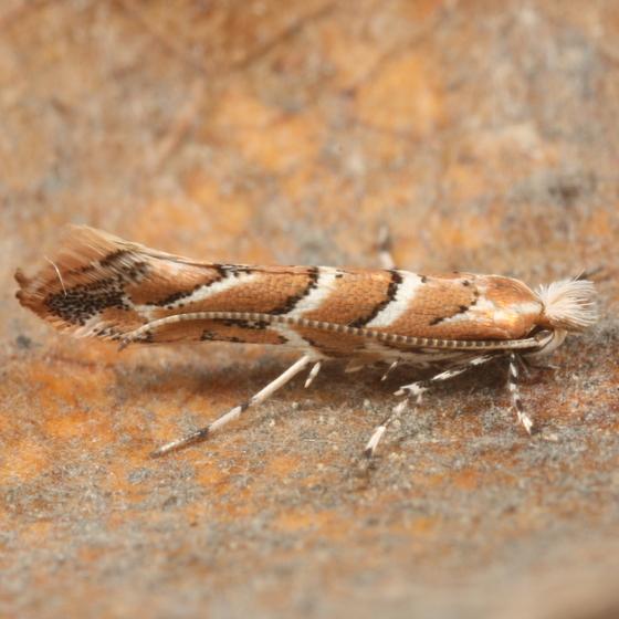 Cameraria mendocinensis