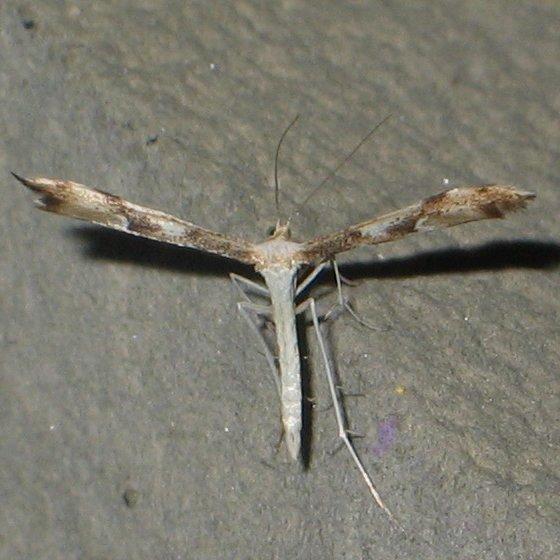 white-bottomed plume moth - Adaina montanus