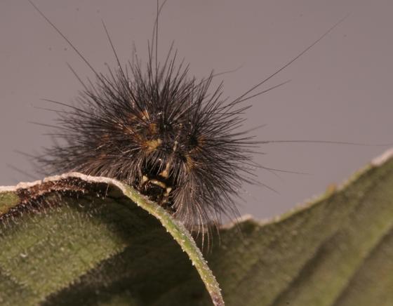 Erebidae, Salt Marsh larva, frontal - Estigmene acrea