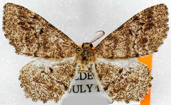 moth - Hypagyrtis piniata - male