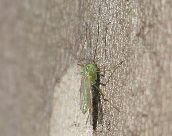 Possible Chironomini-Little Green Gnat