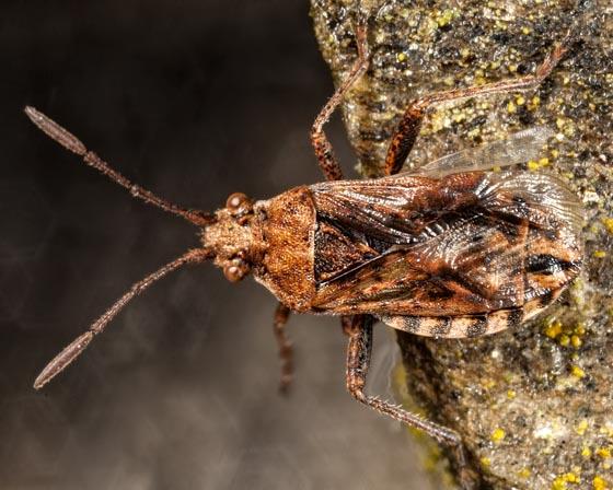 Scentless Plant Bug - Stictopleurus