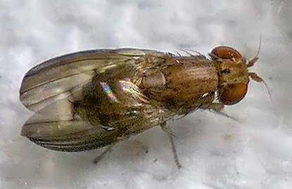 fly - Oncodometopus umbrosus