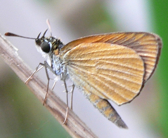 Least Skipper - Ancyloxypha numitor
