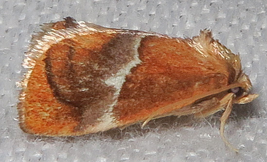 Yellow-shouldered Slug Moth - Lithacodes fasciola