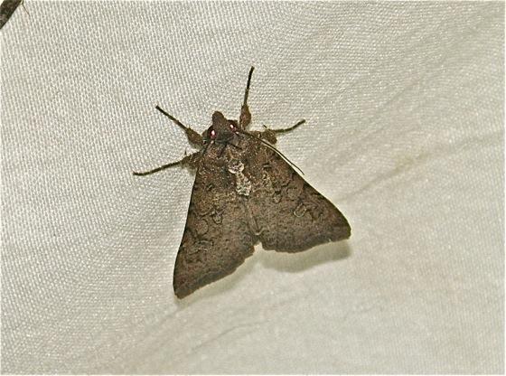 Brown Moth - Peridroma saucia