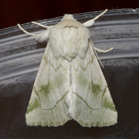 Elder Moth - Zotheca tranquilla