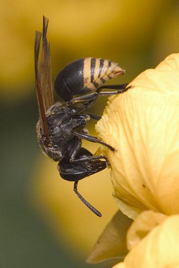 Striking little wasp - Pachodynerus nasidens - female