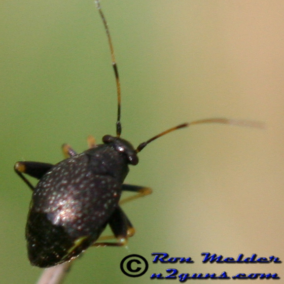 Garden Fleahopper - Microtechnites bractatus - female