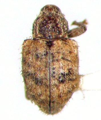 Conotrachelus erinaceus