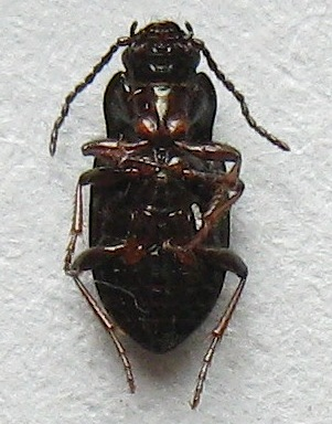 Shiny Ground Beetle - Trachypachus