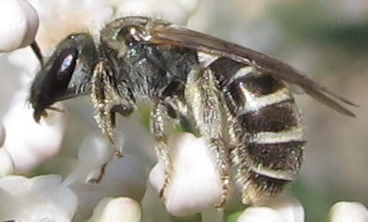 Small Bee on Fendler Ceanothus - Halictus tripartitus
