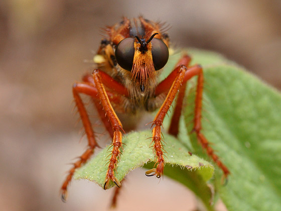 Robber Fly - Callinicus calcaneus - female