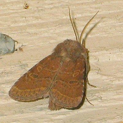 Rufous Quaker - Protorthodes rufula