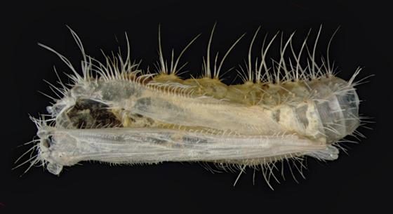 Plume moth spent pupa case - Oidaematophorus eupatorii