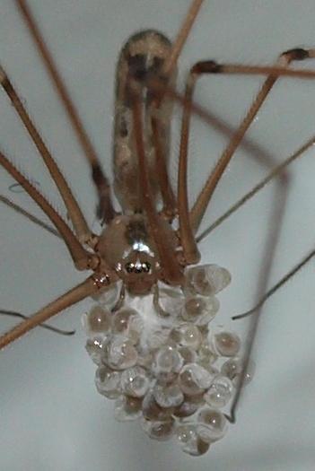 Pholcus phalongioides - Pholcus phalangioides - female