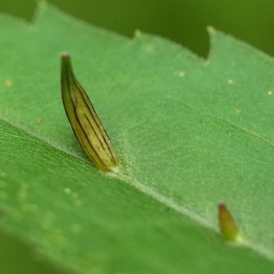 galls on Goldenrod leaf - Rhopalomyia inquisitor-maybe