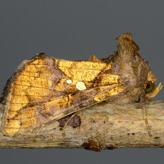 Golden Looper Moth - Argyrogramma verruca