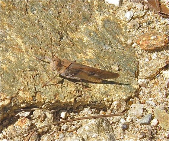 Brown Grasshopper - Trimerotropis modesta - male