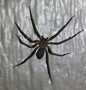 east tennessee brown recluse - Loxosceles reclusa