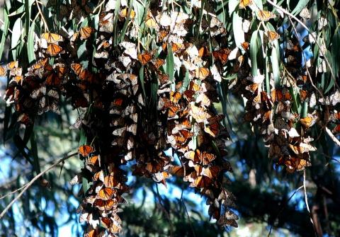 Monarchs Overwintering on California Coast - Danaus plexippus - male - female