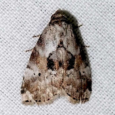 Black-patched Graylet Moth - Hyperstrotia secta - Hyperstrotia secta