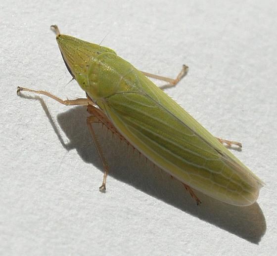 Sharpshooter - Draeculacephala