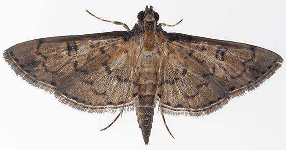 Moth - Nacoleia charesalis