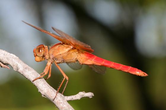 Neon Skimmer? - Libellula croceipennis - male