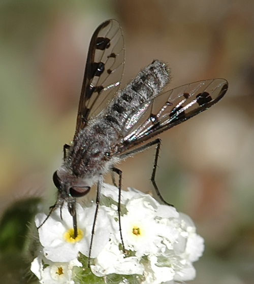 Thevenetimyia (Arthroneura) tridentata - Thevenetimyia tridentata - female