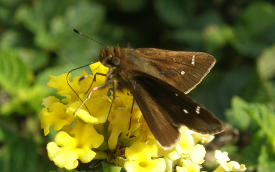 Clouded Skipper - Lerema accius - male