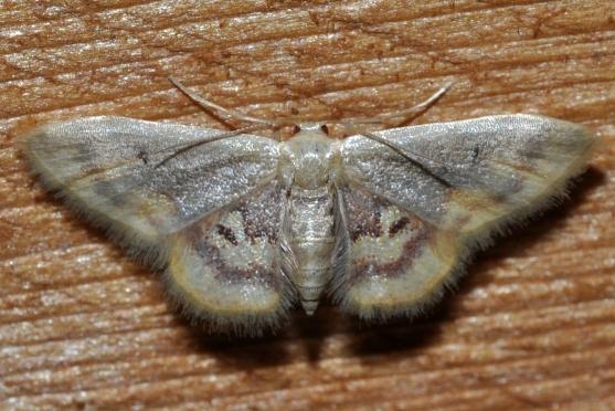 Diminutive Wave Moth - Idaea scintillularia
