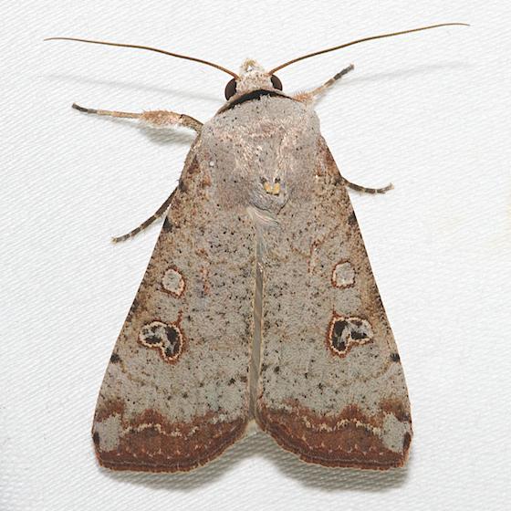 Green Cutworm Moth - Hodges#10911 - Anicla infecta