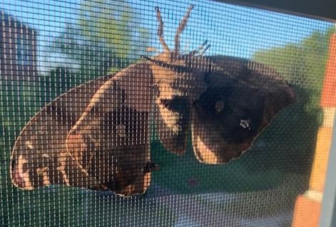 moth 2 - Antheraea polyphemus