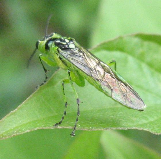 Rhogogaster 02d - Rhogogaster viridis