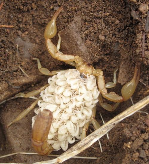 Scorpion with babies - Paravaejovis spinigerus - BugGuide Net