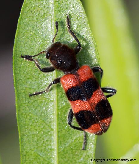 Beetle - Trichodes apivorus